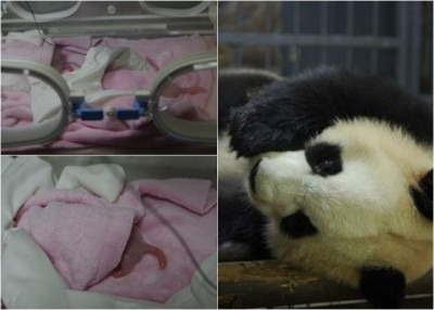 雅莉顺利诞下今年首对大熊猫双胞胎姊姊。