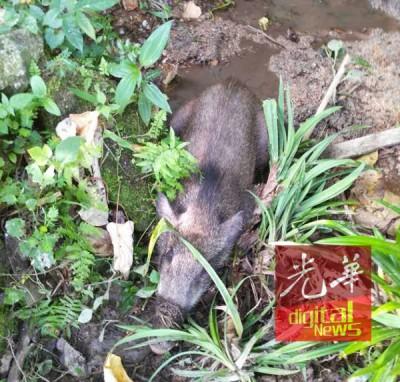 小野猪出现在组屋围篱外。
