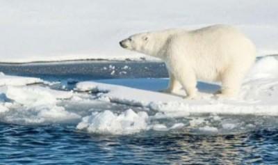 北极海冰消融将对北极熊生存构成严重威胁。