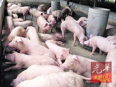 全国各地生猪价创新高,身在供应商和消费者中间的猪肉商贩,面对成本增加和销售疲弱夹攻,苦不堪言。(档案照)