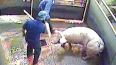 有屠场工人虐打猪只。