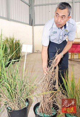 米工业局总监卡玛鲁丁察看遭受虫害的水稻。