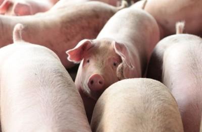 中国养猪业因近月水灾,导致猪肉供应锐减。
