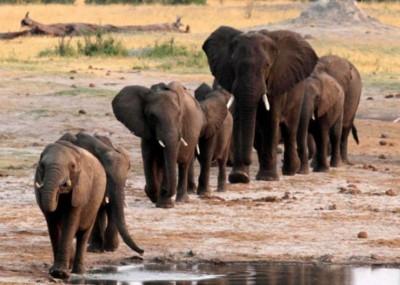非洲一些国大象的数已起了反弹,还象满为患。
