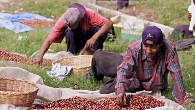 一旦全球暖化持续,野生咖啡豆可能于2080年因虫害或极端天气灭绝。