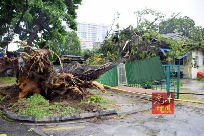 霹雳路百年老树连根拔起地地住家方向倒下。