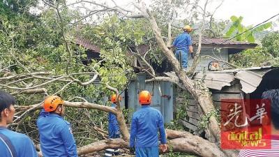一场暴风雨导致丹那烈白菜园一棵30尺高的老香树倒下,直劈一户锌板屋。