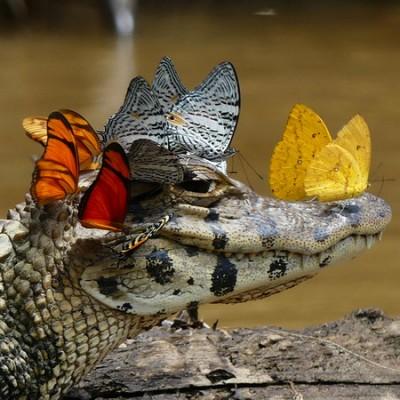 头上停满蝴蝶的鳄鱼,眼露无奈,但鳄鱼分泌的眼泪,才是蝴蝶停留的原因。