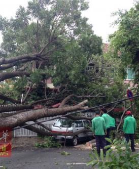 这棵树压到对面住家与轿车,电缆也同样被拉下。