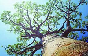 猴面包树高达几十公尺,每一个部分都能被利用。
