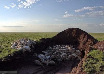 高鼻羚羊集体死亡疑与感染传染病有关。