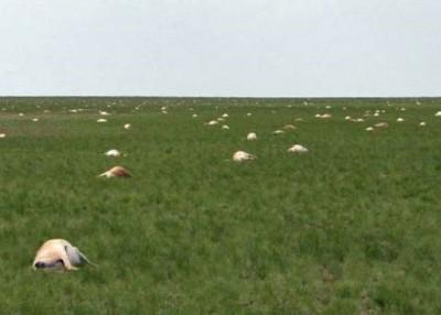 大批高鼻羚羊集体死亡的场面极为震撼。