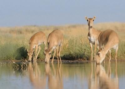高鼻羚羊属濒危动物。