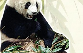 """大熊猫繁育研究基地的造园方式,强调野外生态环境,熊猫在秋冬季节,喜爱在户外""""山林""""玩耍。图为""""爱浜""""是个雌性熊猫,今年10岁(等于成人30岁),独居。"""