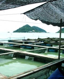 武吉淡汶海上箱网养殖鱼在大潮汐遇上雨季,导致近2000鱼只死亡。