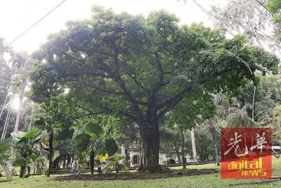 西瓦强调,围绕着这棵炮弹树周围的落叶并不是没有清理,而是提供养分予周围的土地,以均衡土质。
