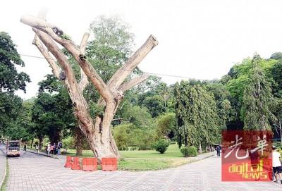 """这棵已经成为舍利干的""""迎宾树""""日后也会被砍伐,以另一个姿态继续在植物园生存。"""