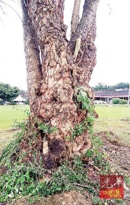 起刺的老树,平均有35年树龄。