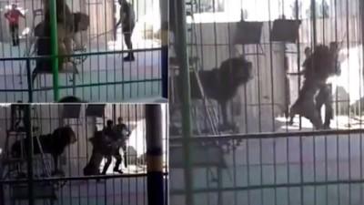 沙欣下令狮子表演某些动作,不过中同样只狮子突然迎面扑向沙欣噬咬。