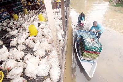 由于道路遭到水灾阻隔,养鸡场业者唯有使用船只,将鸡只运出。