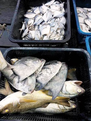 上等鱼如:斗鲳、白鲳、红皂、白皂及石斑涨幅约15%至20%。