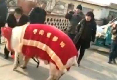 """""""华北猪上""""还约756公斤。"""