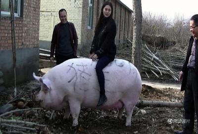 河南郑州养起一头深肥猪,重达750公斤,于比中用到第一名。