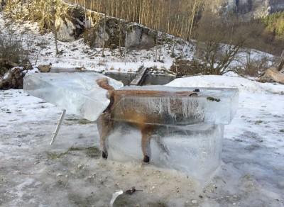 狐狸遭冰封。(法新社照片)