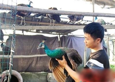 吴男之养殖场出售可供食用的孔雀。