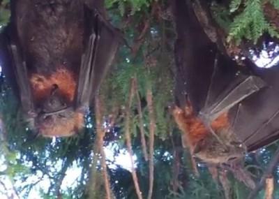 产生蝙蝠倒挂在树上成干尸。