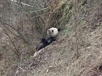 熊猫饱餐一顿后,正在悠闲剔牙。