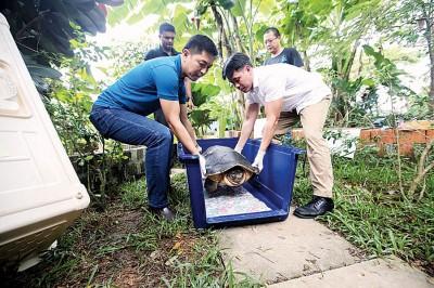 新加坡社会以及家庭发展部长陈川仁(左)与义顺集选区议员黄国光(右)团结将巨额龟拉哈尤抱进笼子。
