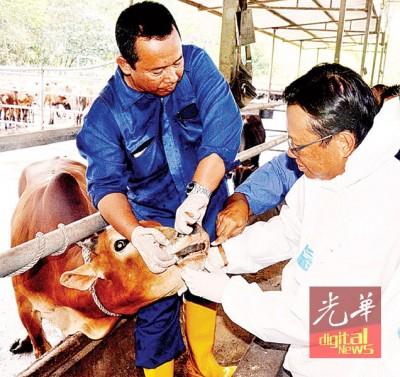 阿末沙柏里亲自检验进口活牛的健康情况。
