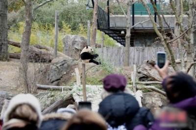 大量美国民众到华盛顿动物园,和宝宝告别。