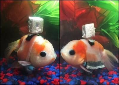 金鱼使用轮椅架后,可以自由自在地游来游去。