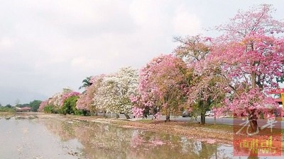 忽如一夜春风来,千树万树樱花开。