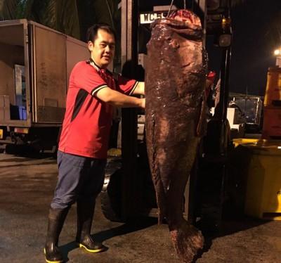 重达130公斤的龙趸鱼,长度甚至比成人的身高还长。