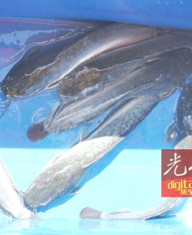 非洲鲇鱼价格相对便宜,一直以来是人们放生的首选。