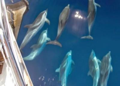 海豚被指经常抢吃渔获。