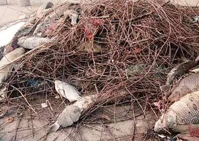 职员捞出大量死鱼。
