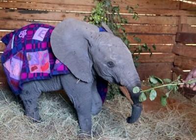 恩克莎被救回时其象鼻几乎完全断开。