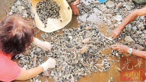 从海底捞上岸的啦啦堆中,伴着其他生物,需经过人工筛选。