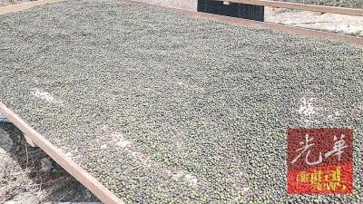在阳光下曝晒的胡椒粒,干后就成了黑胡椒。