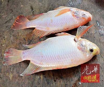 养了3个月的高配种金凤鱼(前)及4个月的普通金凤鱼。
