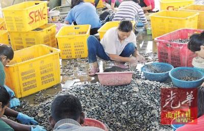 威南海域再度盛产啦啦,受本土居民有盈余外快机会。