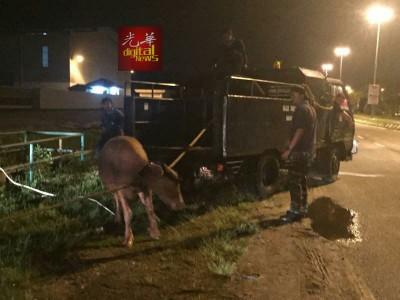 市政厅动员于凌晨时分展开捕捉牛只行动,并捉到3只水牛。