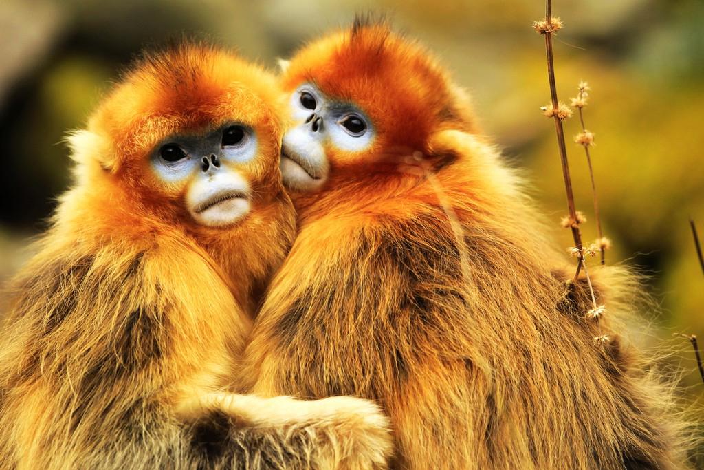 金丝猴群在宝兴县森林居住已有一段时间。