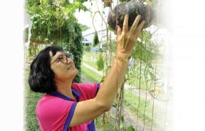 黄梨兰老师开心地看著丰美的有机南瓜,她说,有机蔬果未必一定是长得又干又瘦又丑的,只要掌握种植技术,这些有机蔬果可长得肥美又香甜。