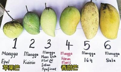香甜芒(左4)相比其他品种芒果,果身浑圆,尾段有稍许勾起。