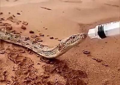 有人递上针筒向蛇喂水。